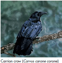 Crow - Lexicon of Forestry - LoF - Forestrypedia