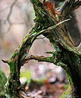 A Alphabet Shaped Tree - Lexicon of Forestry - Lof - Forestrypedia