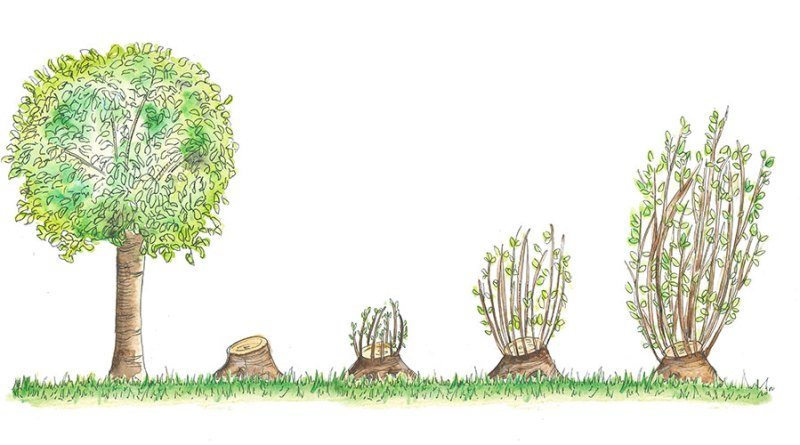 Coppice System - A Detailed Note - Forestrypedia