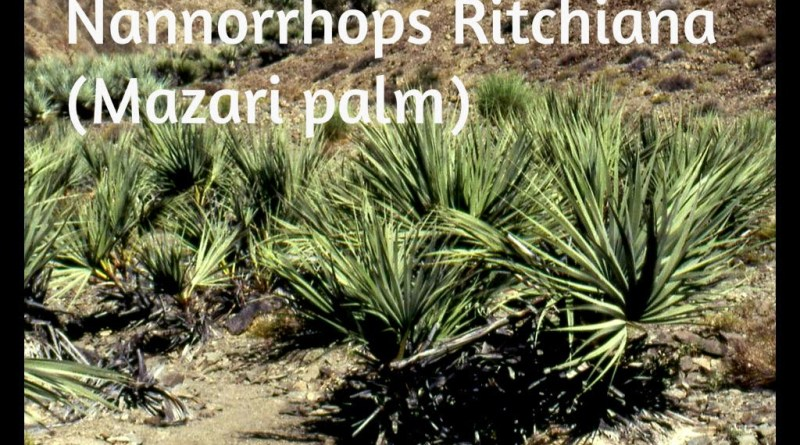 Nannorrhops ritchiana 28Mazaripalm29