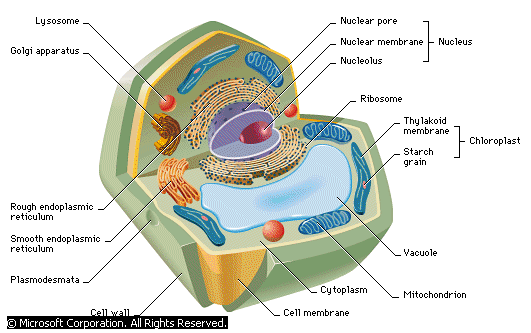 Anatomy of a Typical Cell - Forestrypedia