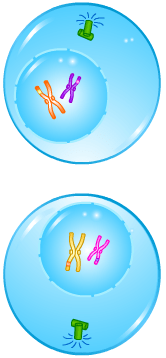 Cell Division - Meiosis - Telophase I- Forestrypedia