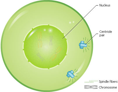 Cell Division - Prophase - Forestrypedia