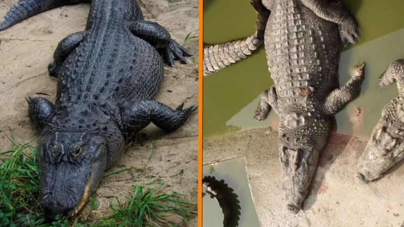 Crocodiles Vs Alligators 1 - Forestrypedia