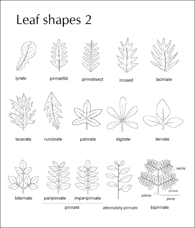 Leaf - Compound - Forestrypedia
