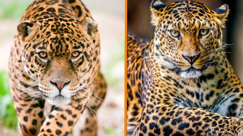 Leopards Vs Jaguars 1 - Forestrypedia