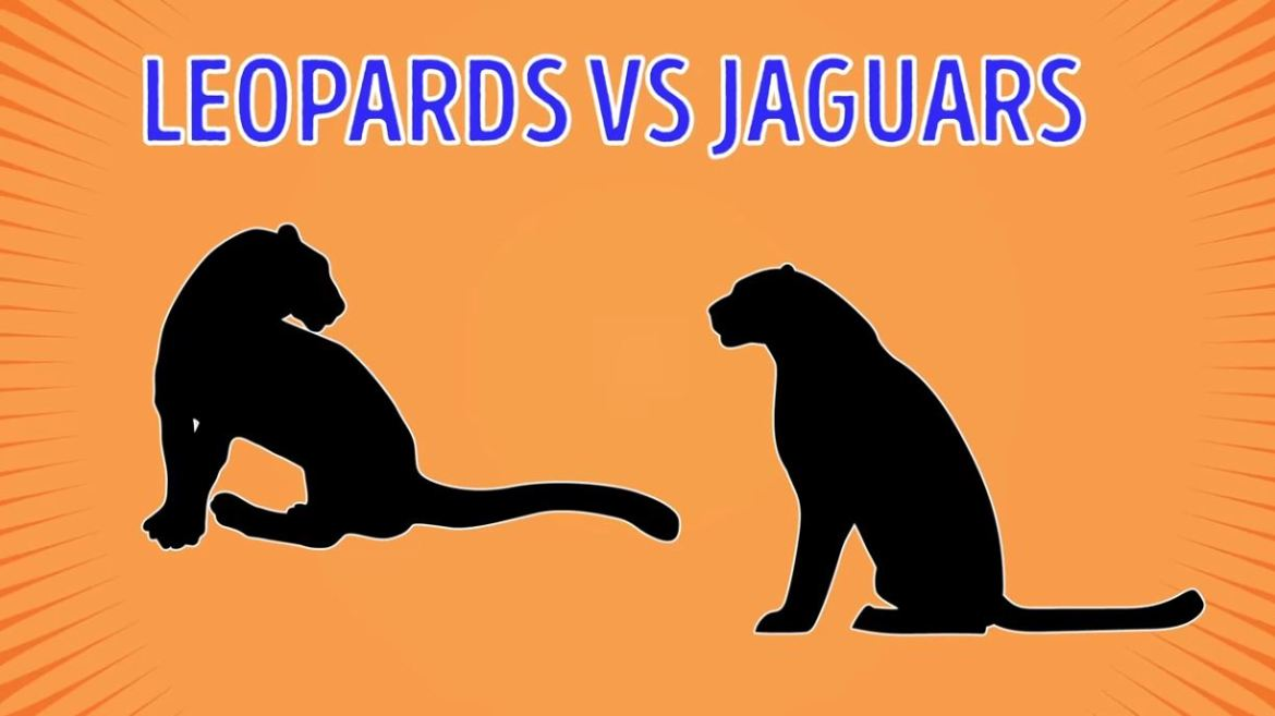 Leopards Vs Jaguars - Forestrypedia