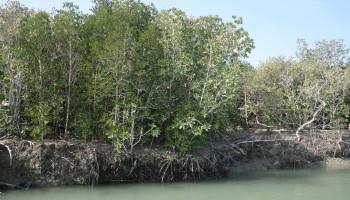 Mangrove Lasbela - Choice of Species - Forestrypedia