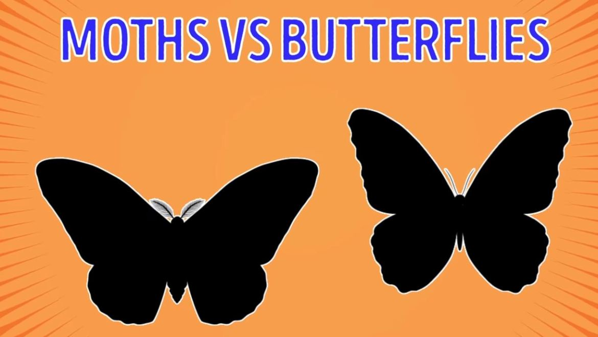 Moths Vs Butterflies - Forestrypedia