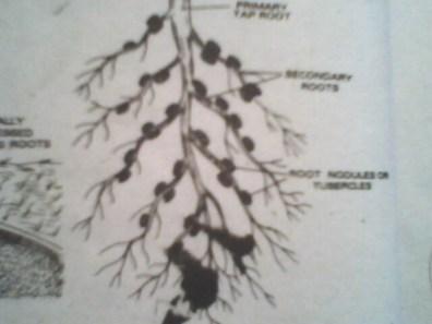 Nodulated - Forestrypedia