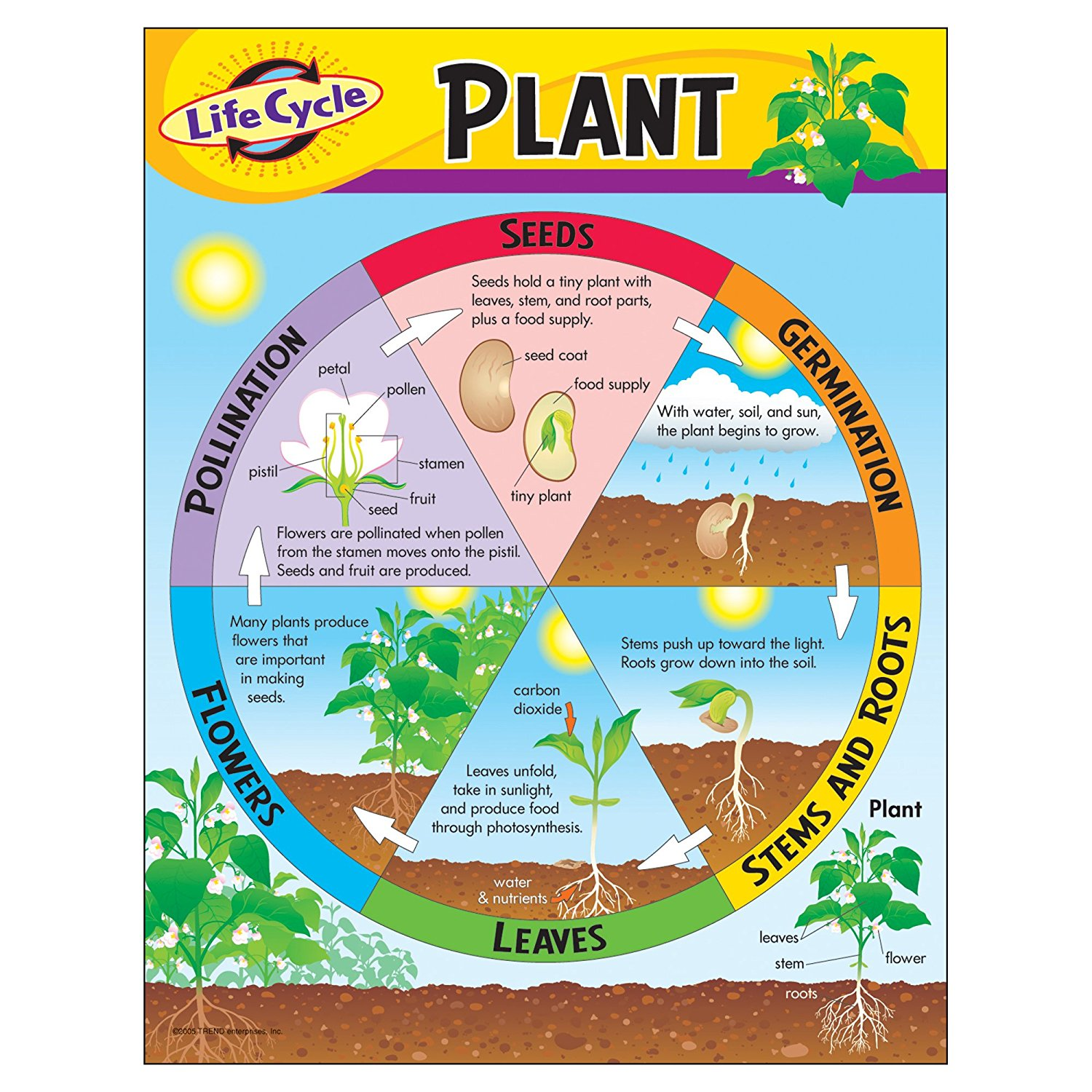 Plant Life Cycle Term Paper