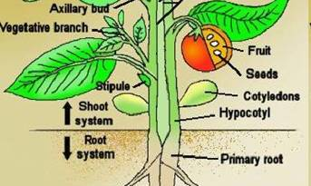 Plant Parts - Forestrypedia - Plant Taxonomy