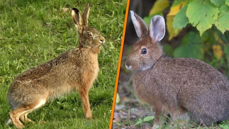Rabbits Vs Hares - Forestrypedia