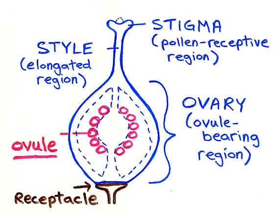 • Ovary – the basal portion that surrounds and protects the ovules (meiosis occurs within the ovule).