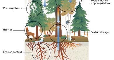 Water Yield - Forestrypedia