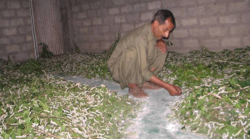 Sericulture in Pakistan (Term Paper) - Forestrypedia