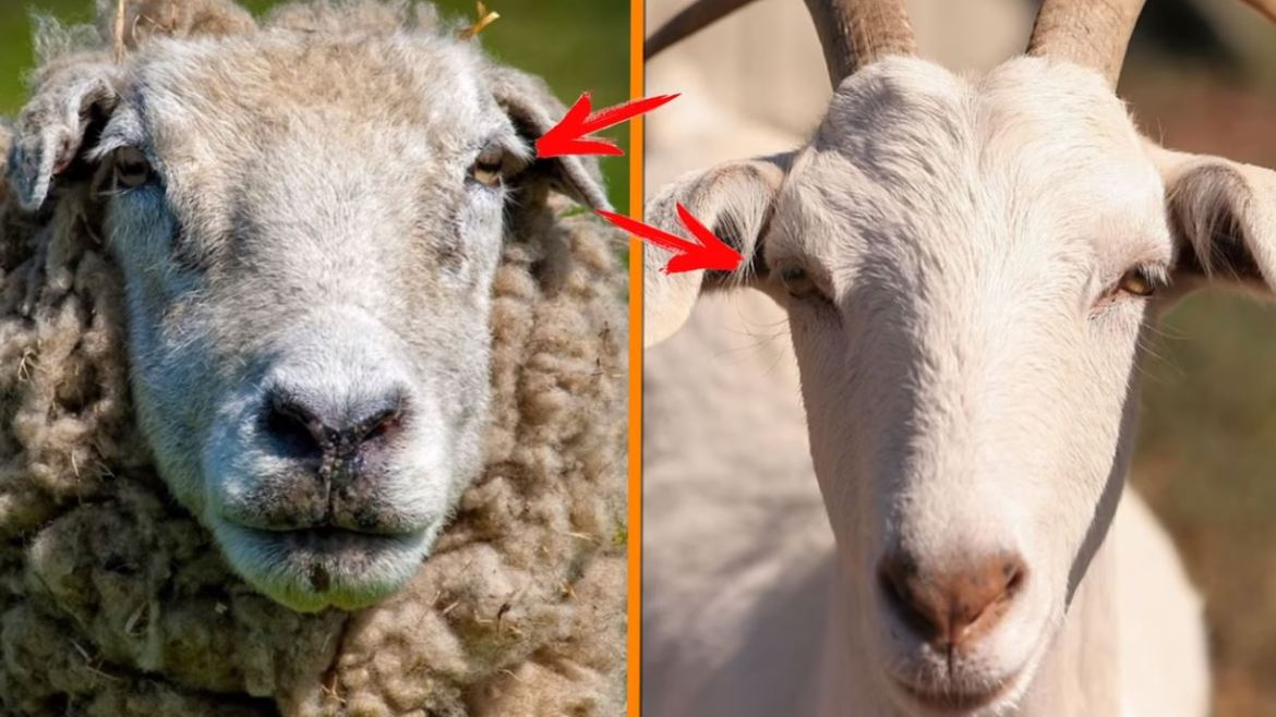 Sheep Vs Goats2 - Forestrypedia
