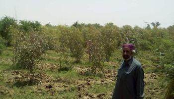 Status of Eucalyptus Species in Pakistan - Spacing - Eucalyptus raised on close spacing - Green Pakistan Programme - Forestrypedia