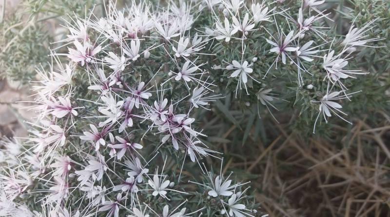 Acanthophyllum sordidum