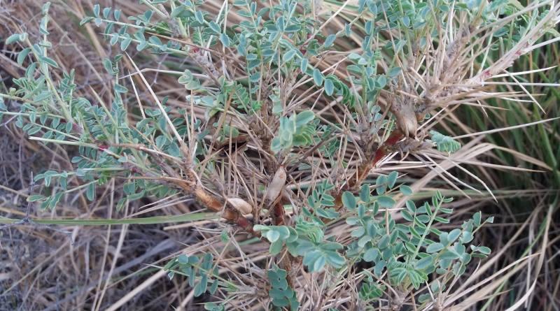 Astragalus psilocentros