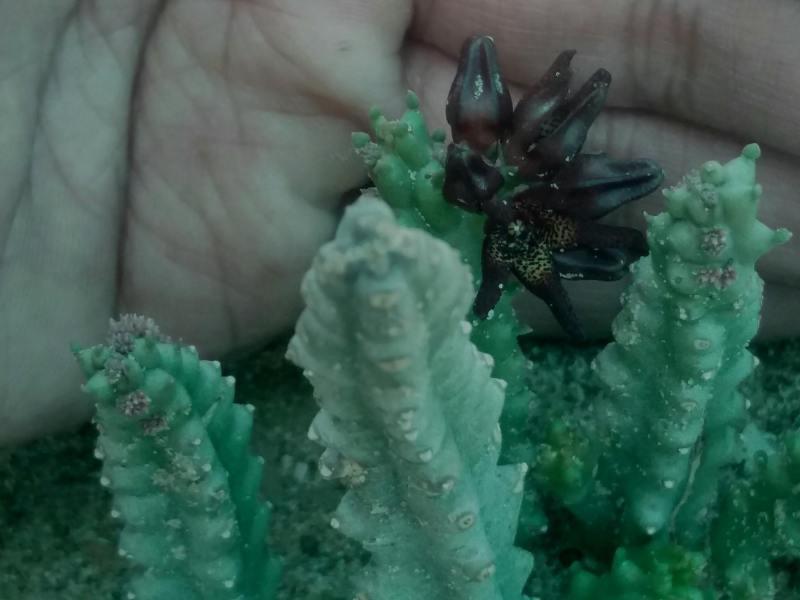 Caralluma tuberculata