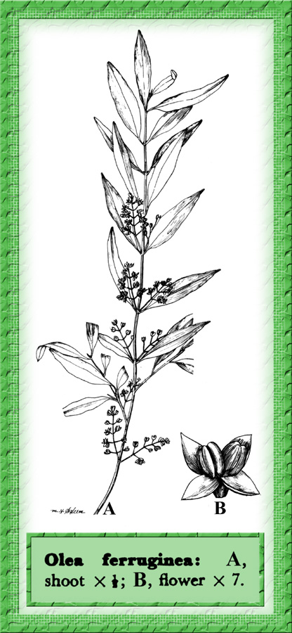 Olea_ferruginea illustration