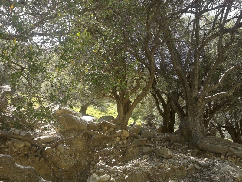 Harnai Olive Scrub - Forests in Balochistan