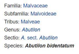 Abutilon bidentatum classification
