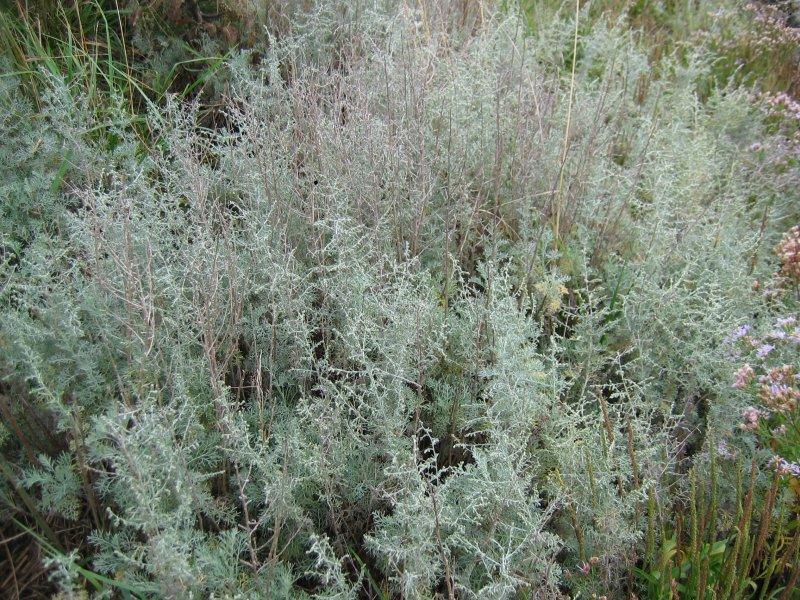 Medicinal Plants of Northern Areas of Pakistan - Artemisia_maritima