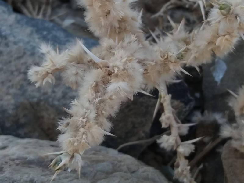 Cornulaca aucheri