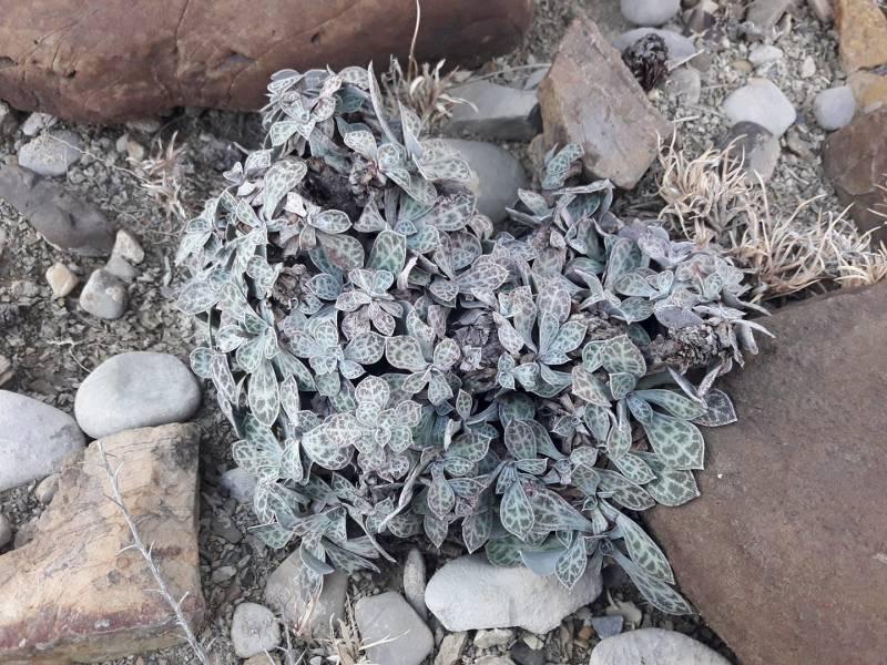 Limonium cabulicum
