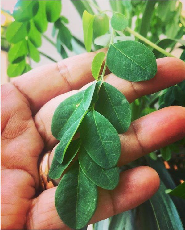 Moringa oleifera Leaves | Moringa Tea: Fat Loss, Blood Pressure Control And Other Incredible Benefits - Forestrypedia