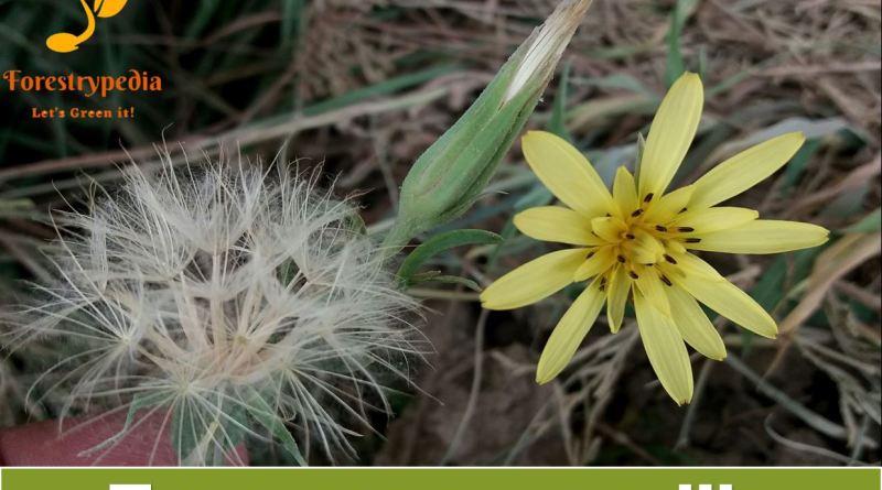 Tragopogon gracilis