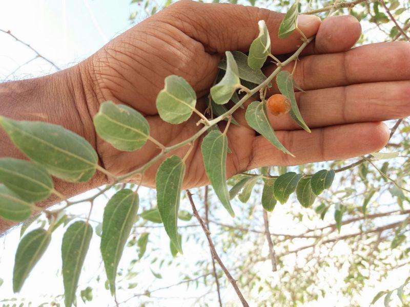 Ziziphus oxyphylla