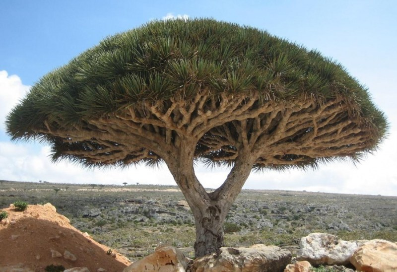 A Dragon Tree, Socotra Island- 14 Most Beautiful Trees in the World