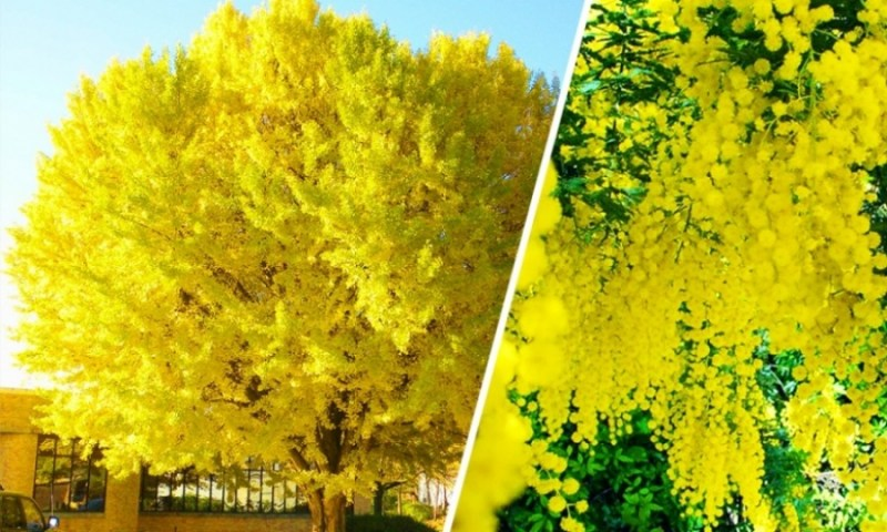 A Mimosa Tree in Abkhazia  - 14 Most Beautiful Trees in the World