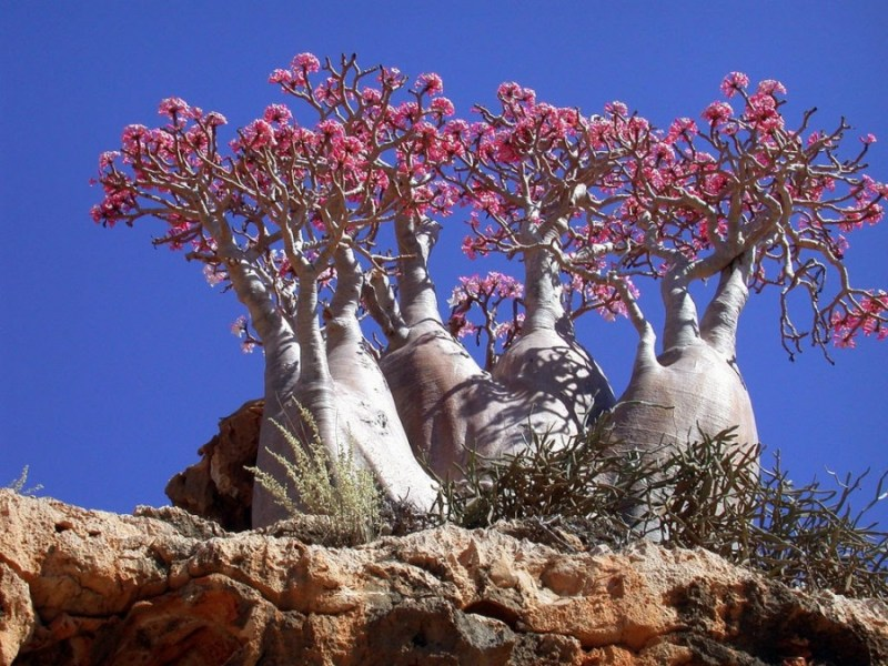 Bottle Trees, Socotra Island   - 14 Most Beautiful Trees in the World