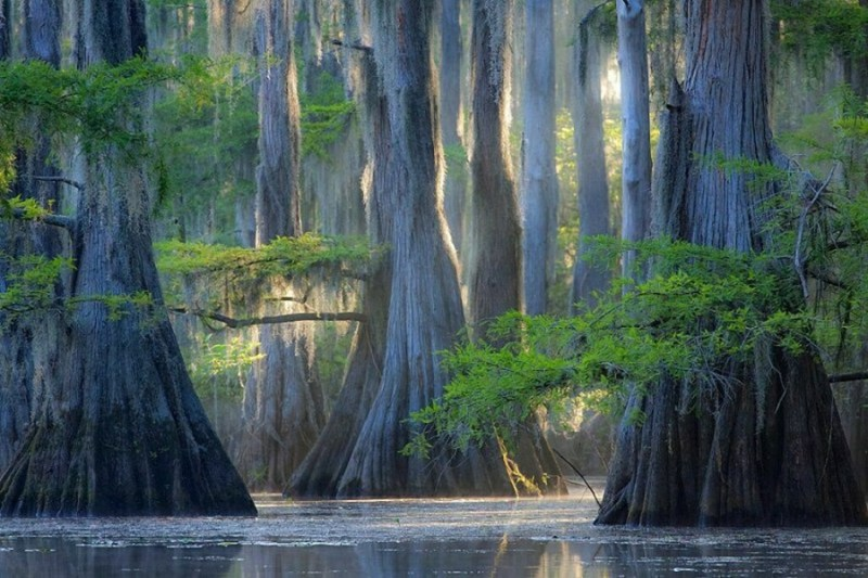 Cypress Trees, Caddo Lake - 14 Most Beautiful Trees in the World