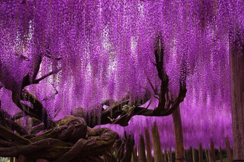 Wisteria Trees in Japan  - 14 Most Beautiful Trees in the World