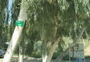 Pros and Cons of Eucalyptus Tree Plantation - Forestrypedia