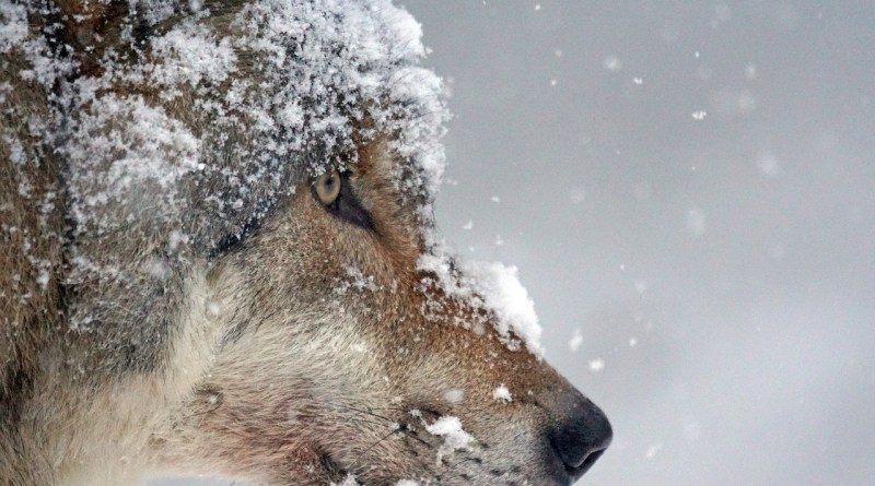 Amazing Facts about Wolf (in Urdu)