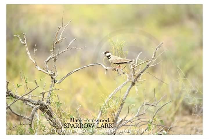 Black-Crowned Sparrow-Lark (Eremopterix nigriceps) - forestrypedia.com