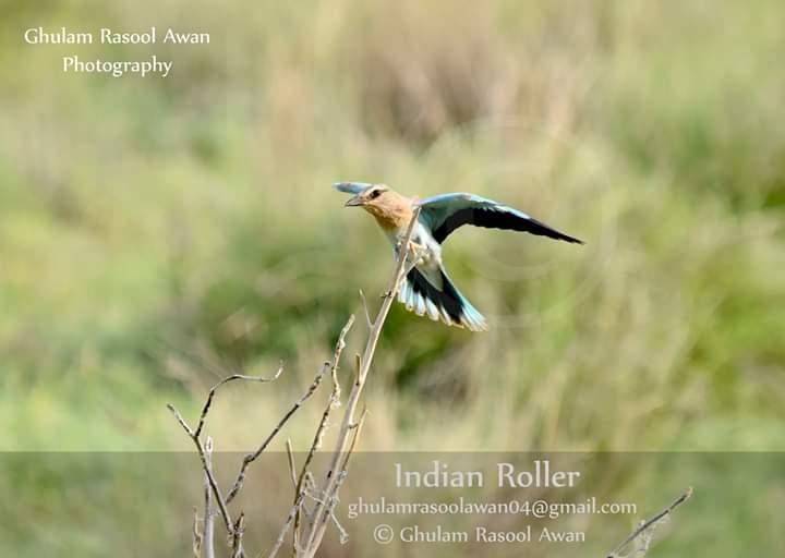 European Roller (Coracias garrulus) - forestrypedia.com