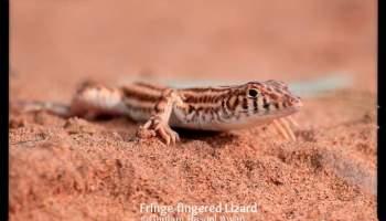 Reptiles of Pakistan (Punjab, Sindh, Balochistan, Khyber Pakhtunkhwa) - forestrypedia.com