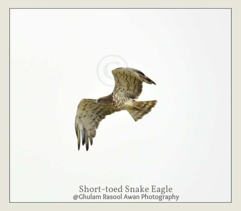 Short-toed Snake Eagle (Circaetus gallicus) - forestrypedia