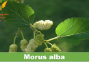 Morus alba - Mulberry - forestrypedia.com