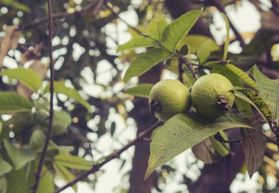 How to get double income from guava orchard? - forestrypedia.com
