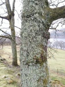 Lichen on tree