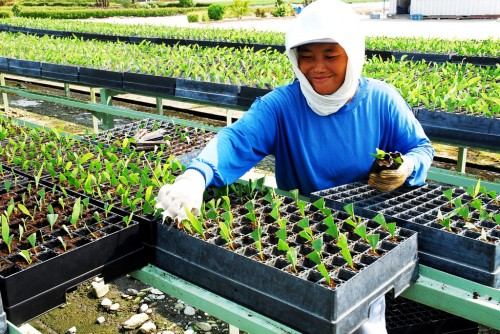 Designer plants may help meet global demand for palm oil and avoid deforestation. Ryan Woo/CIFOR