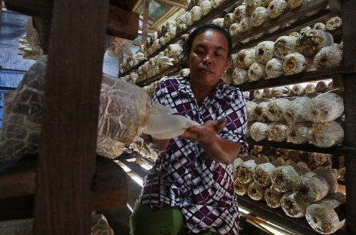 Villagers in Manteran II are developing successful oyster mushroom businesses. Dita Alangkara/CIFOR